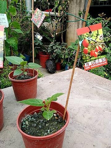花花世界_季節水果苗--紅寶石樹蕃茄--**新品種 多種口感**/5吋盆/高20~40CM/TC - 露天拍賣