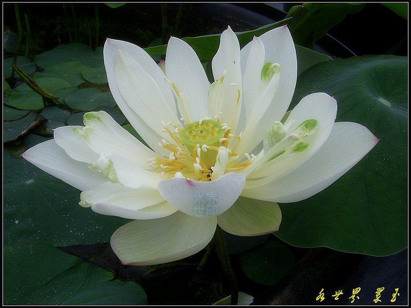 水世界 蓮花~極品 荷花 翠玉~成熟蓮藕 - 露天拍賣