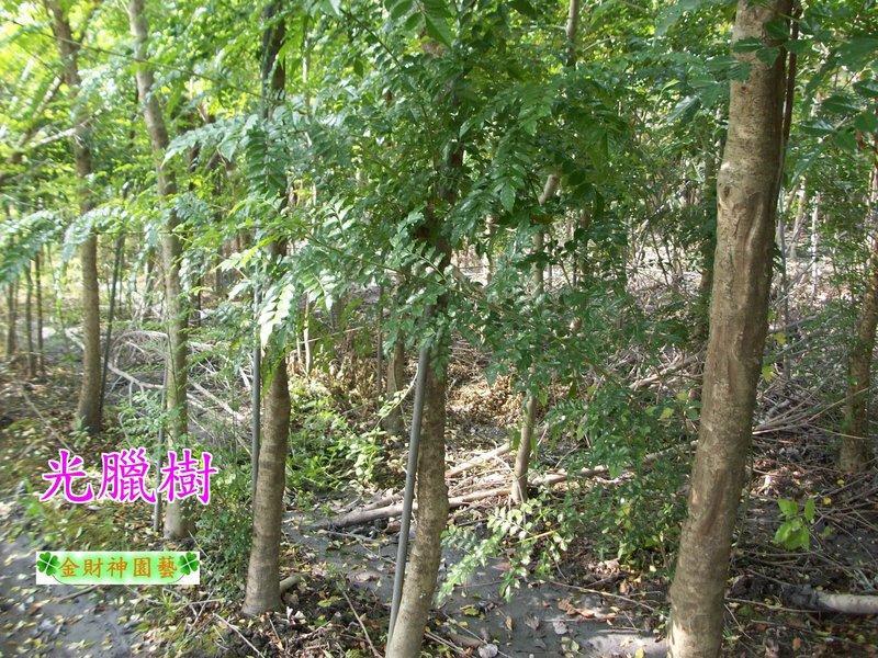 《松發園藝─樹種之家》※庭園-景觀-植栽-綠化-行道樹※ 光臘樹,大葉山欖 . 美人樹 - 露天拍賣
