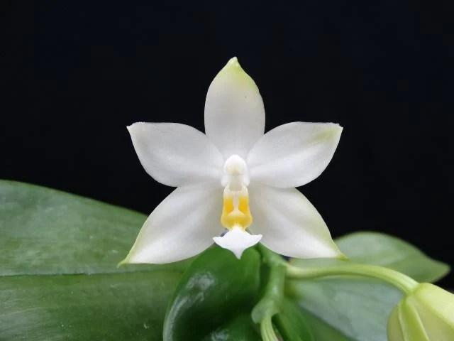 {親友蘭園} 蘭花拍賣之原生種蝴蝶蘭-P.violacea var alba 有香味 - 露天拍賣