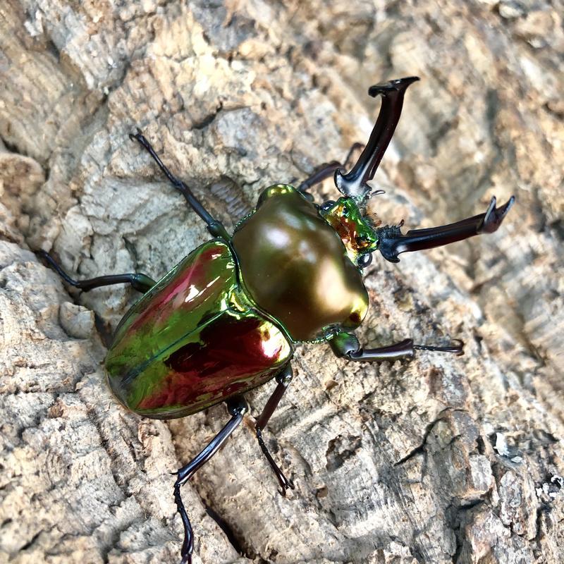[甲蟲部落]彩虹鍬形蟲(幼蟲) - 露天拍賣