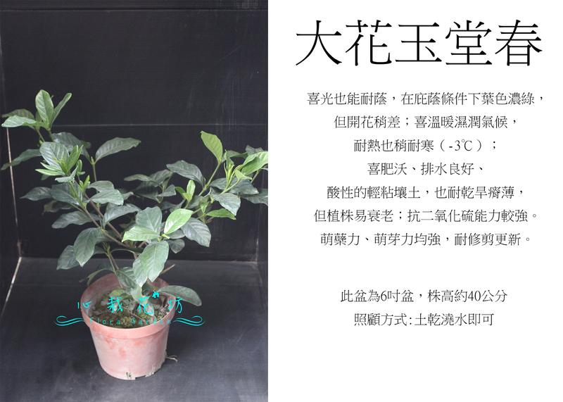 心栽花坊-大花玉堂春/槴子花/綠籬植物/綠化植物/售價100特價90 - 露天拍賣