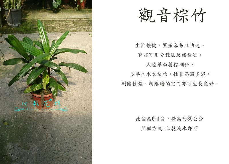 心栽花坊-觀音棕竹/觀葉植物/室內植物/綠化植物/售價260特價230 - 露天拍賣