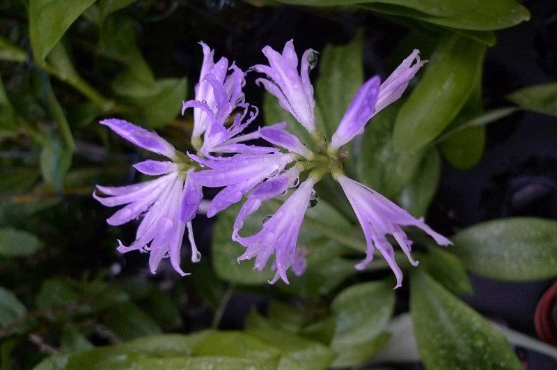 藍晶花 - 露天拍賣