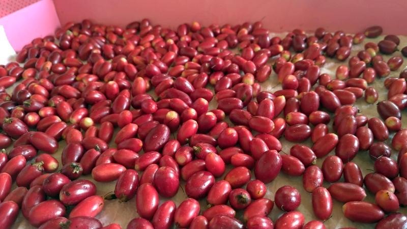 神秘果 果實 100 顆   露天拍賣