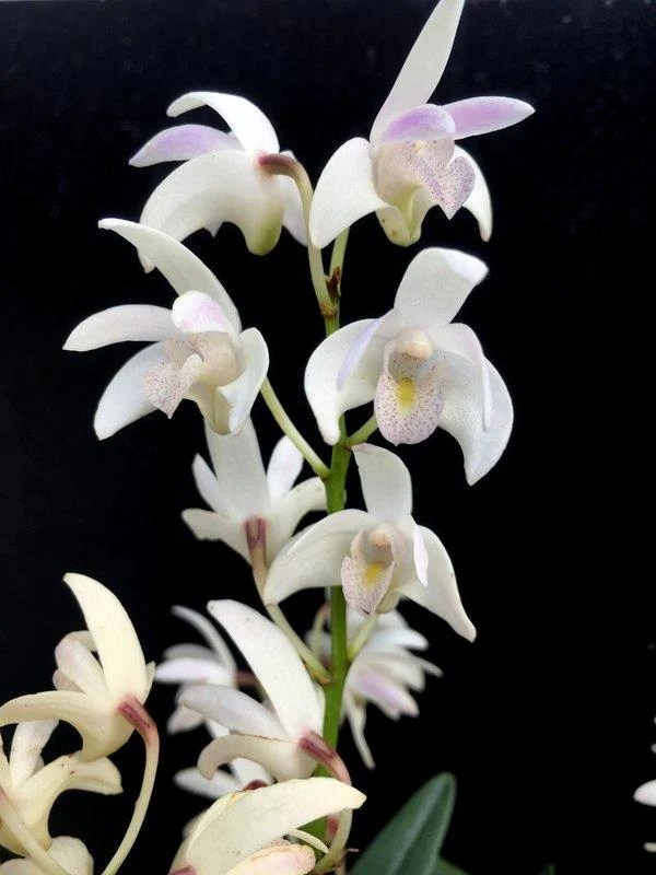 Den. kingianum var. semi-alba 澳洲石斛   露天拍賣