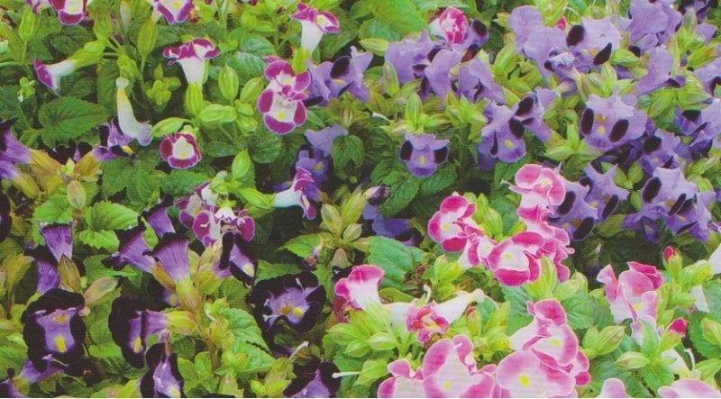 【愛上種子-滿300 免郵資】日本進口 夏菫 夏堇種子(混合色) F1品種 每包100粒 - 露天拍賣