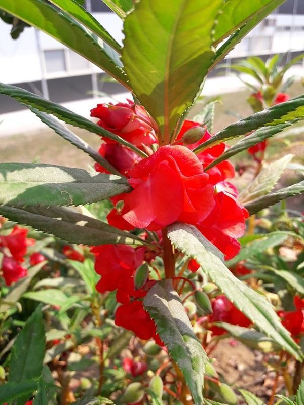 S-022【草花種子】(紅色)鳳仙花種子,1份30元100顆。別名:指甲花。 - 露天拍賣