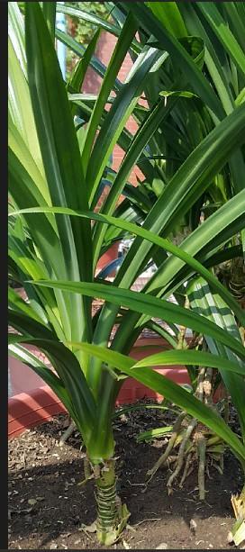 香蘭葉.斑蘭葉.七葉蘭.有機栽培 - 露天拍賣