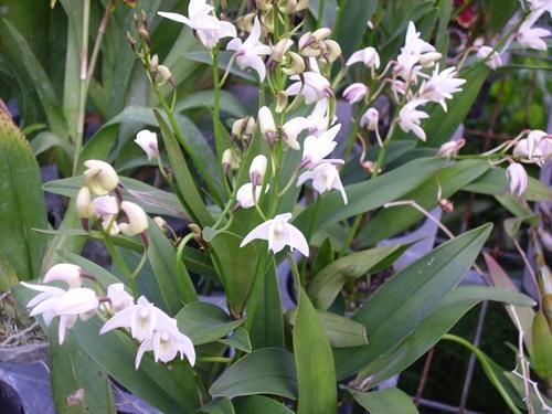 裕達蘭園 原生澳洲石斛 Den. kingianum var alba 母株高芽 - 露天拍賣