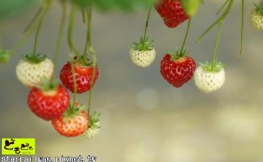 [新潟]白根果園-越後姬公主草莓採收體驗+好吃冰淇淋