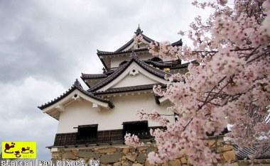 [滋賀]關西賞櫻名所-琵琶湖八景之『彥根的古城與櫻花』