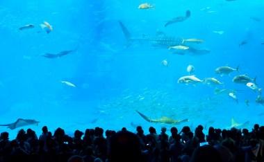 [沖繩]沖繩美ら海水族館-在亞洲最大的水族館賞鯨鯊