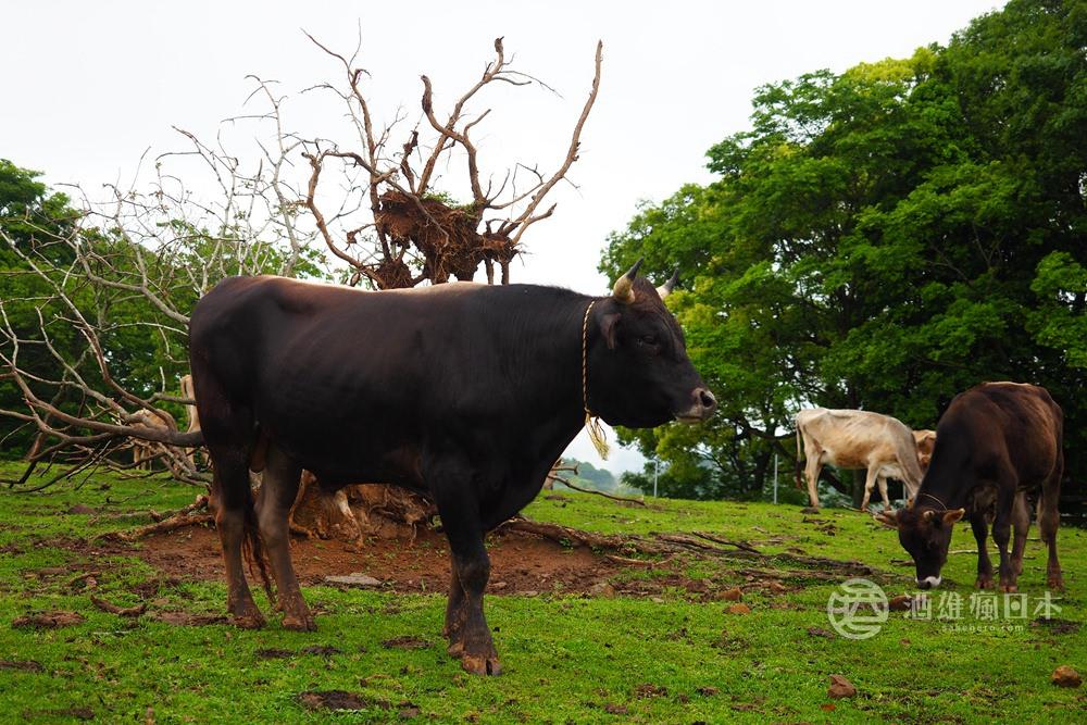 日本和牛基礎知識-黑毛和牛?處女牛?國產牛?交雜牛?到底哪個才好吃呢? - 酒雄瘋日本