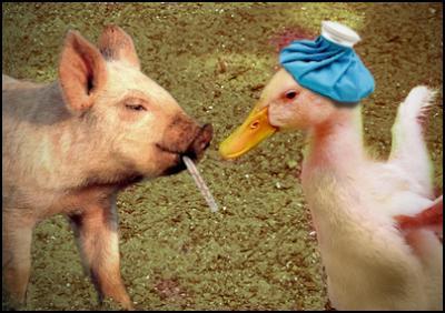 swine flu meets bird flu - scoop image lyndon hood