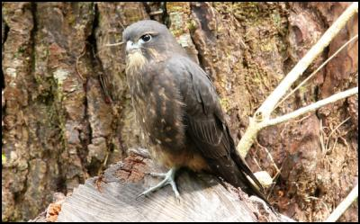 Fledgling NZ Falcon. Photo by Tom Lynch, ZEALANDIA/Karori Sanctuary Trust.