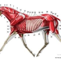 Horse Anatomy Diagram Muscles Kawasaki Bayou Parts Trotting Deep Muscle La Lateral Chart Veterinary Illustration