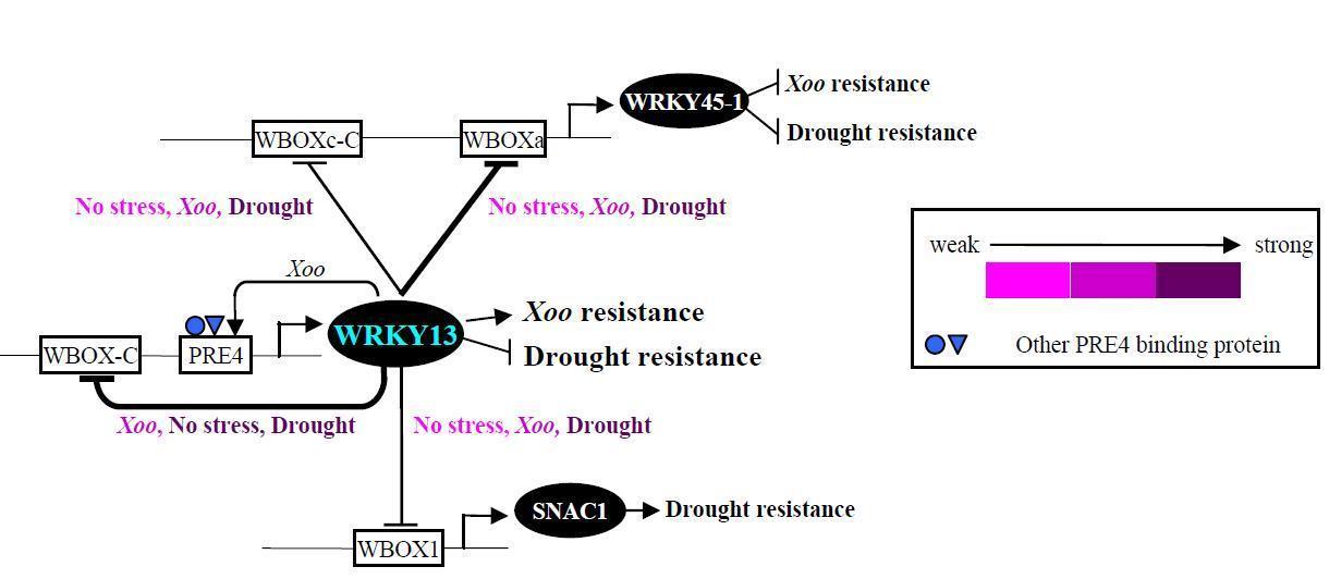 Rice WRKY13 Regulates Crosstalk between Abiotic...