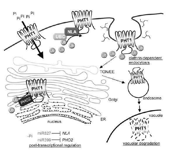 Plant Cell: NITROGEN LIMITATION ADAPTATION, a T...