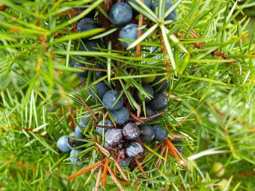 杜松漿果 Juniper Berry