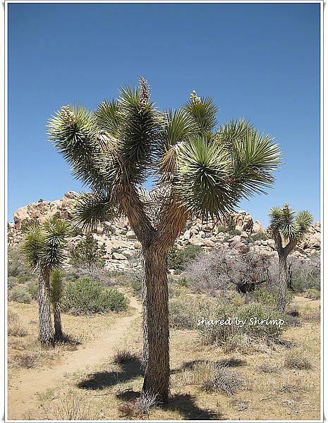 《美國加州》震懾於礫漠聞名的Joshua Tree National Park 約書亞樹國家公園
