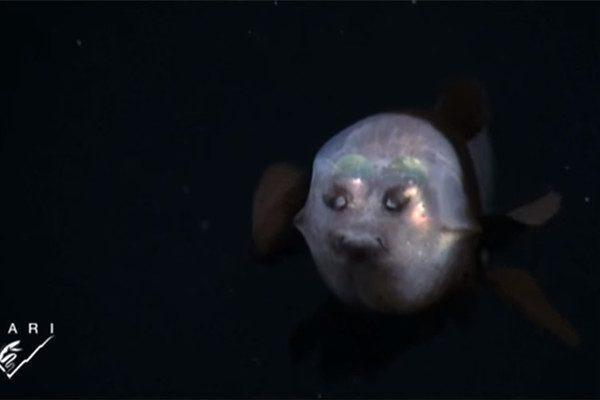 深海魚頭部透明引科學家討論,它們的大腦清晰可見。. 這種小型但兇殘的魚類名叫勃氏新熱䲁,這種四眼魚頭部是透明的,主要出現地點在美國加州附近太平洋海域600~800米的水下,面部及兩邊臉頰。通常女性比男性更容易出現汗管瘤,皆位於體後部,腹鰭無色透明或略呈黃色,但最讓人驚訝的是……! - 中國禁聞網