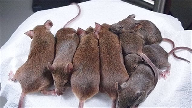 Les 24e et 25e générations de souris