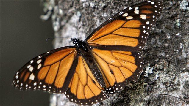 Un papillon monarque