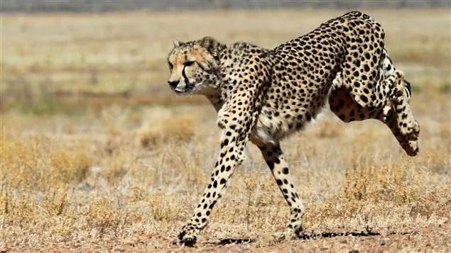 Un guépard au Botswana
