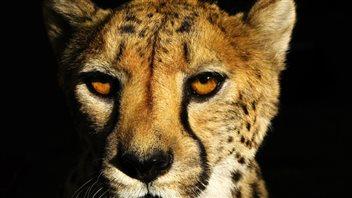 La tête d'un guépard
