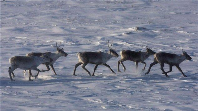 Un troupeau de caribous