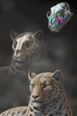 Représentation artistique de la Panthera blytheae réalisée à partir du crâne fossilisé.