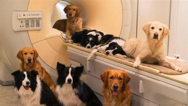 Les chiens ont été placés dans un appareil d'IRM