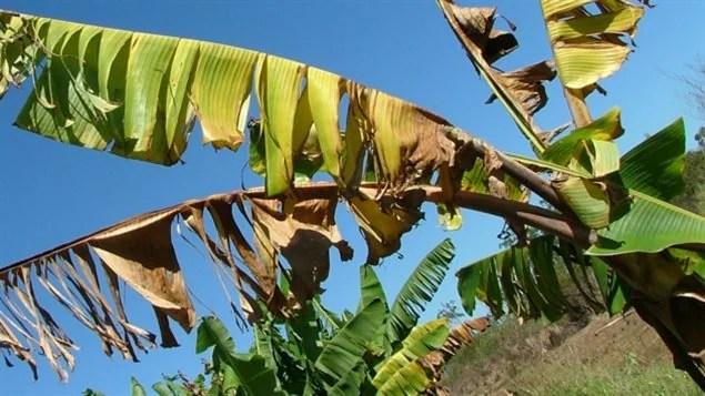 Bananier malade de la jaunisse fusarienne