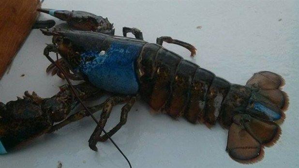 Bogavante con parte del caparazón azul pescado en Gaspesia.