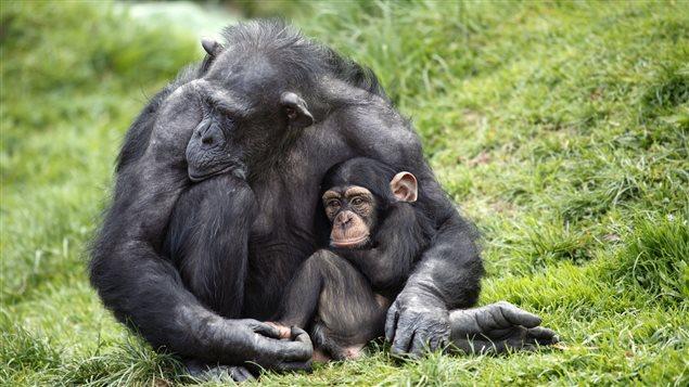 Une mère et un jeune chimpanzés