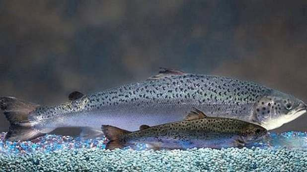 AquaBounty GM salmon grows faster than natural salmon. It was approved for human consumption by the federal government in a process that was challenged by environmental advocacy groups