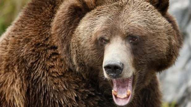About 250 grizzly bears are killed in B.C. each year by hunters, according to the provincial government. Hunting the bears for meat will still be allowed outside the Great Bear Rainforest.