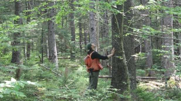 The climate in the Maritimes has resulted in a unique mix of tree and plant species known as the Acadian forest combined 32 species of hardwoods and softwoods. Studies show the boreal softwoods which prefere cooler climates will suffer as the climate warms.