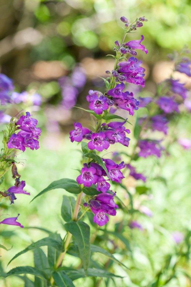 Small perennial flowers home design ideas purple tall flowers perennials mightylinksfo