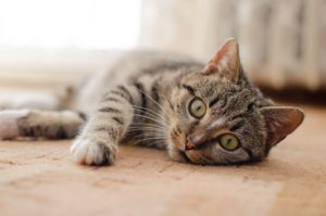 貓傳染性腹膜炎 | TechNews 科技新報