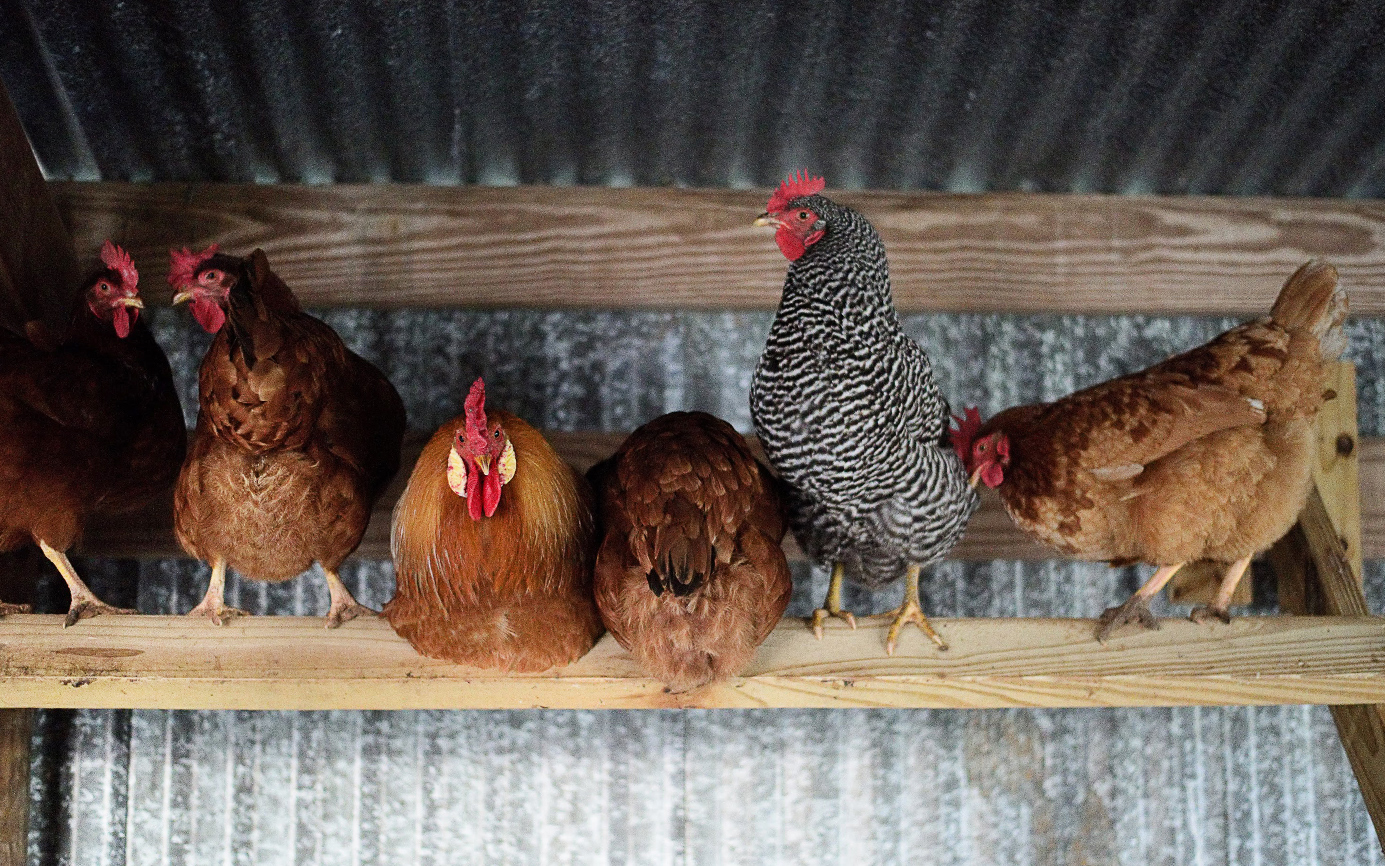 New To Backyard Chicken Keeping Here S Some Eggspert Advice Texas Monthly