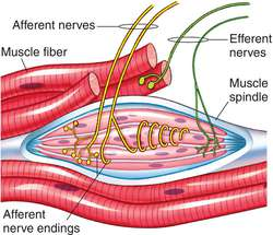 Neuromuscular spindles  definition of Neuromuscular
