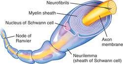 Znalezione obrazy dla zapytania myelin sheath