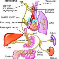 Dog Vital Organs Diagram Wiring For Ez Go Golf Cart Electric Vagus Nerve | Definition Of By Medical Dictionary