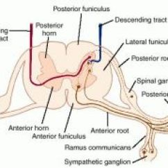 Lumbar Nerve Root Diagram Renault Megane 3 Wiring Definition Of By Medical Dictionary