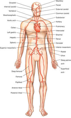 triceps brachii diagram fuse block wiring deep brachial artery | definition of by medical dictionary