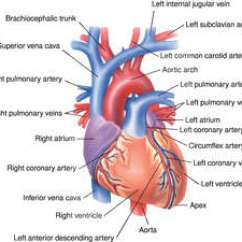 Human Muscular System Diagram Labeled Beginner Venn Heart | Definition Of By Medical Dictionary
