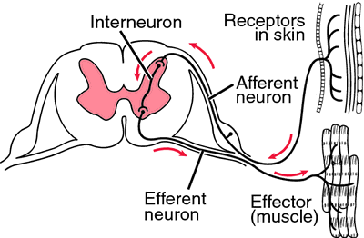 diagram of a simple reflex arc lumbar spine labeled definition by medical dictionary