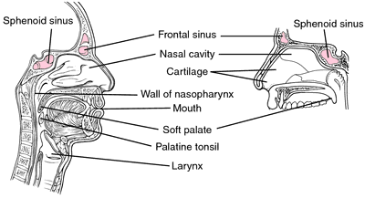 diagram of the nose and its functions horse trailer plug wiring diseases definition by medical dictionary